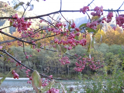 赤い実が弾けたマユミの木