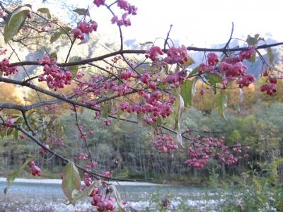 赤い種子が鈴なりのマユミの木