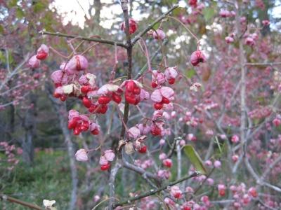 果実が裂けて赤い種子が綺麗