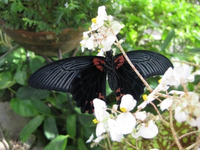 花に翅を広げたチョウ