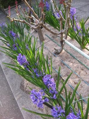 青紫色のヒヤシンス 1