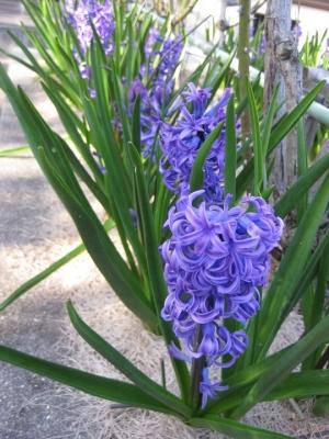 青紫色のヒヤシンス 3
