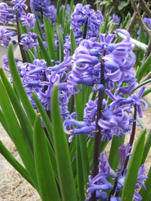 青紫色のヒヤシンス 4