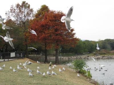 昆陽池・給餌池 落羽松 紅葉