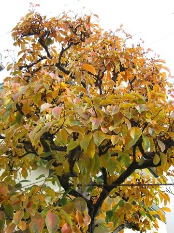 カリンの葉が色づく
