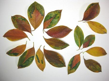 カリンの紅葉した落ち葉 模様入り 1