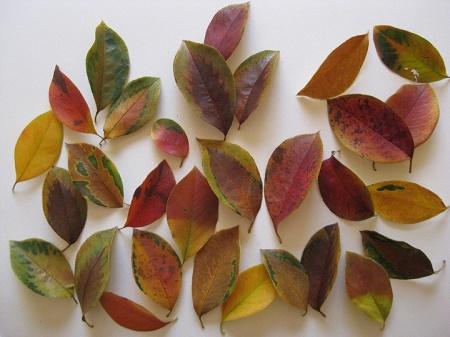 カリンの紅葉した落ち葉 模様入り 3