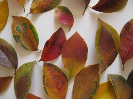 カリンの紅葉した落ち葉 模様入り 2