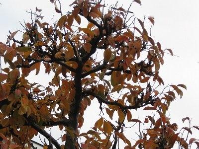 カリンの木 紅葉進む