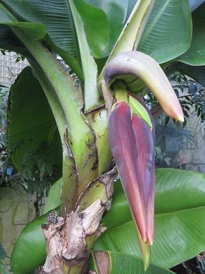バナナの蕾