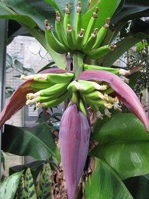 実りつつあるバナナと実の先にまだ花を付けたバナナ