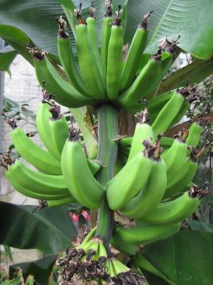 実ったバナナ まだ未熟