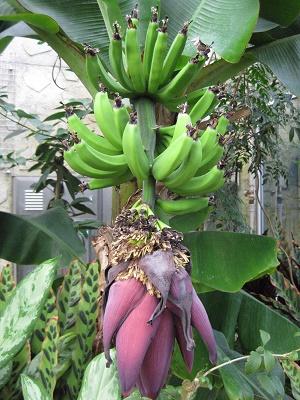 実ったバナナと蕾