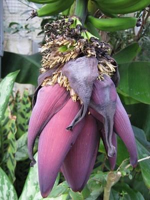バナナ 蕾の部分