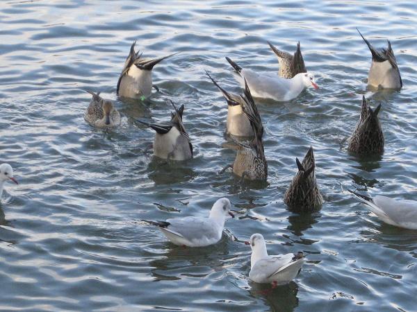 水面に逆立ちして餌を採るオナガガモ
