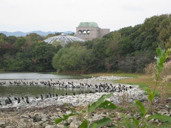 池中の積石上に並んでいるカワウの群れ