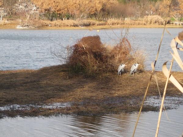 昆陽池の小島にアオサギ2羽