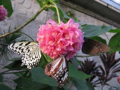 ドンベアの花の蜜を吸うチョウたち