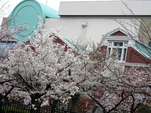 大阪造幣局と大川堤防の桜