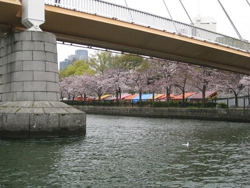 斜張橋の川崎橋と桜