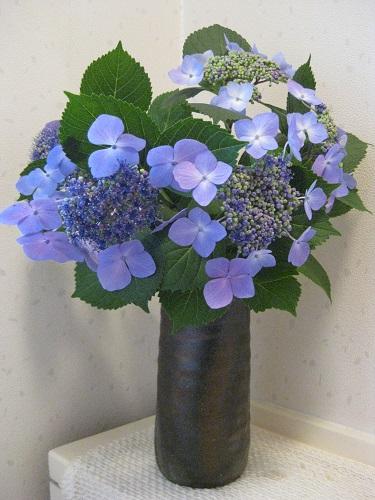 切り花の額紫陽花