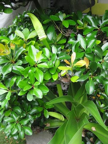 ハマユウ 花茎