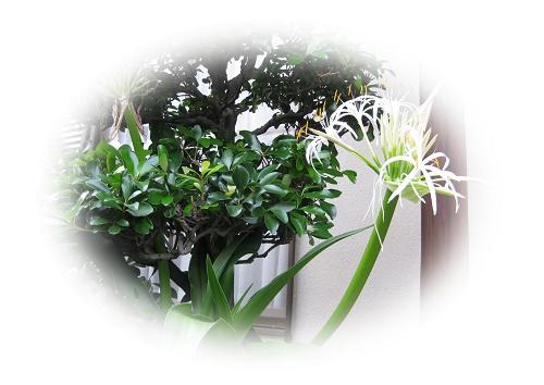 新しい外壁バックにハマユウ咲く