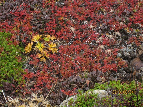 紅葉のチングルマ 果穂の枯れたの