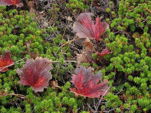 緑の植物の中に紅葉の葉 ミヤマダイコンソウ
