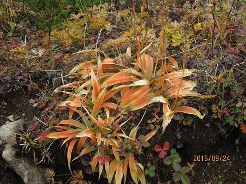 ショウジョウバカマの葉の黄葉