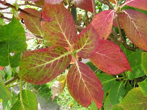 アジサイ葉の紅葉