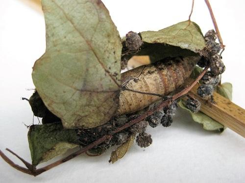 葉に包まって蛹になっている