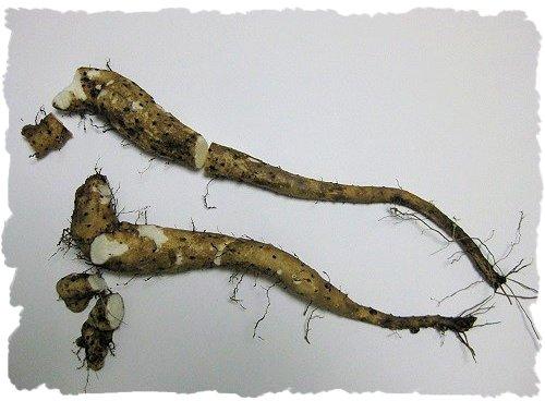 掘ったヤマノイモ・自然薯