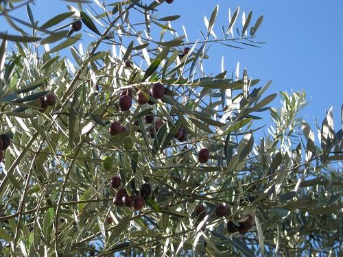 オリーブ 実が生っている