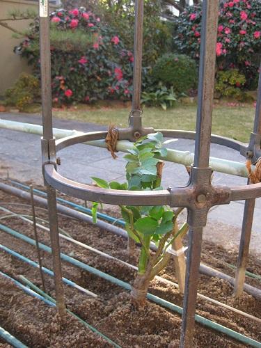 ポール形の支柱と植えた,つるバラ大苗
