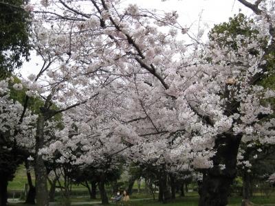 主幹が切られた古木の桜