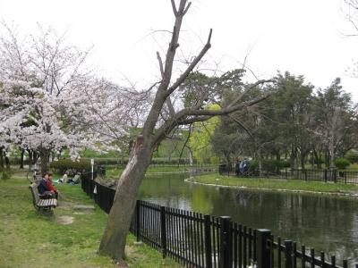 桜の枯木 1