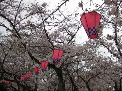 花見の提灯が揺れる桜の木 1