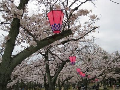 花見の提灯が揺れる桜の木 2