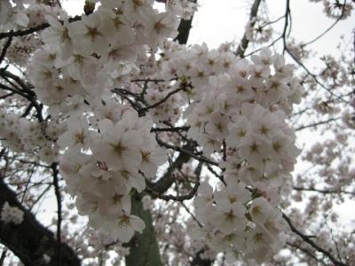 古木の桜満開