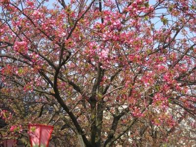 八重桜 こうか 蕾の木