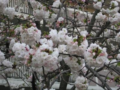 八重桜 らんらん 1