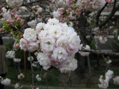 八重桜 らんらん 2