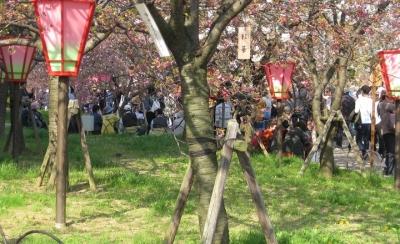 八重桜 こうか 蕾の幹