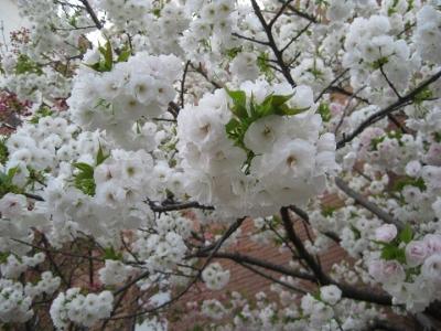 八重桜 あまやどり