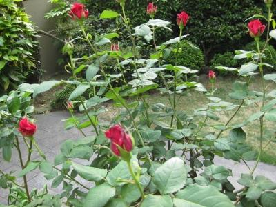 赤いバラ カールレッド
