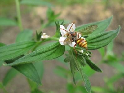 ムラサキの花に蜂