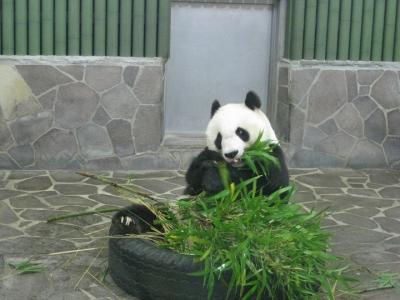 タンタン食事中 笹葉付きの竹
