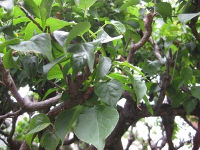 庭の梅の木 白梅