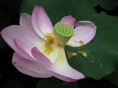 咲き終わって花びら・しべが散るハスの花
